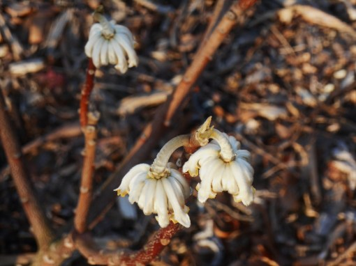 Our Edgeworthia in February, its first spring in the garden.