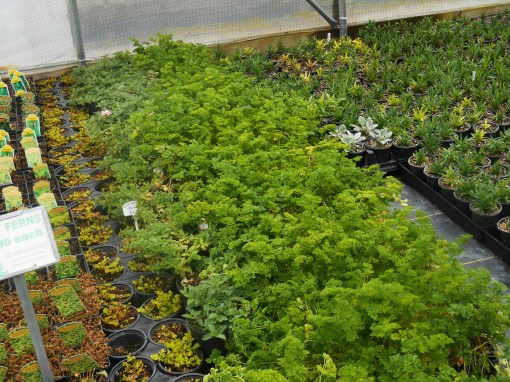 Flats of parsley ready to pot up for spring sale.