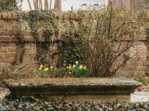 Daffodils opening in the Bruton Parish church yard.