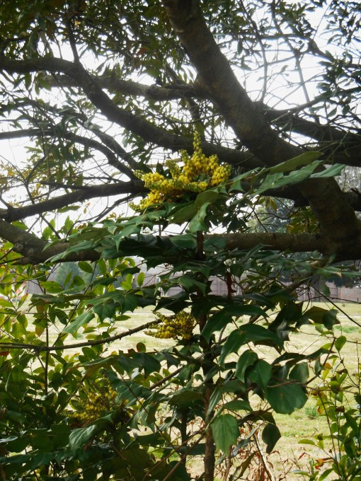 Mahonia blooming at Colonial Williamsburg.