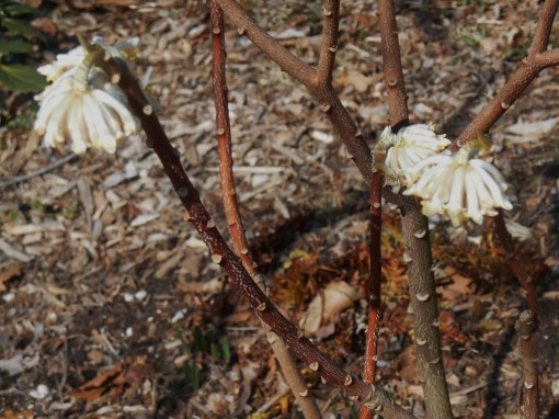 Our Edgeworthia open and fragrant, now, on March 15.