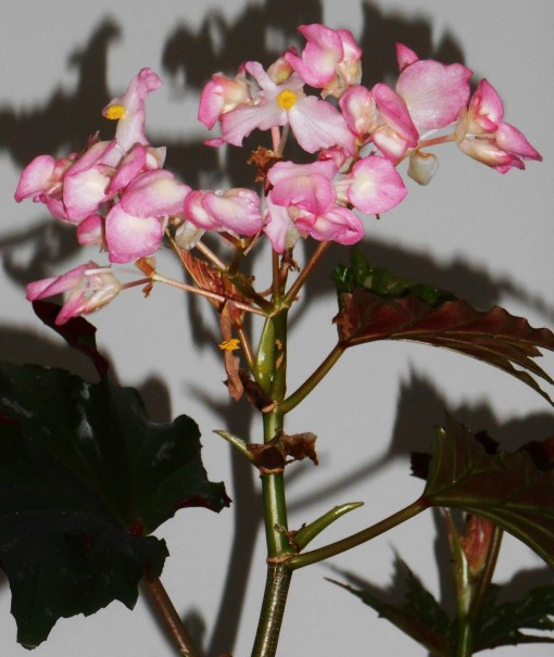 March 18 begonia 001