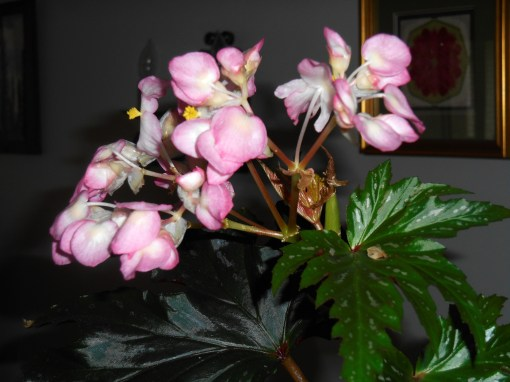 "Begonia ""Sophia"""
