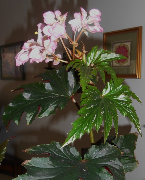 March 18 begonia 005