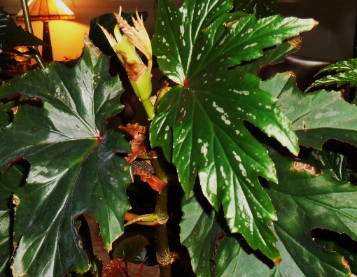 March 18 begonia 006