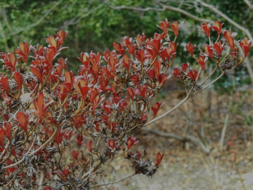 The leaves on this Azalea, usually evergreen, have turned red with the cold.