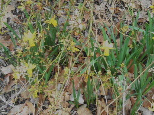 Miniature daffodils bloom beneath a budding rose cane.