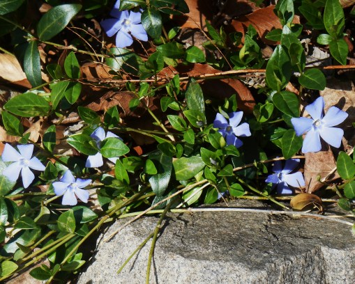 Vinca is lovely in early spring when it blooms with either periwinkle blue, or white, blossoms.  The rest of the year Vinca is a tough, evergreen vining ground cover.