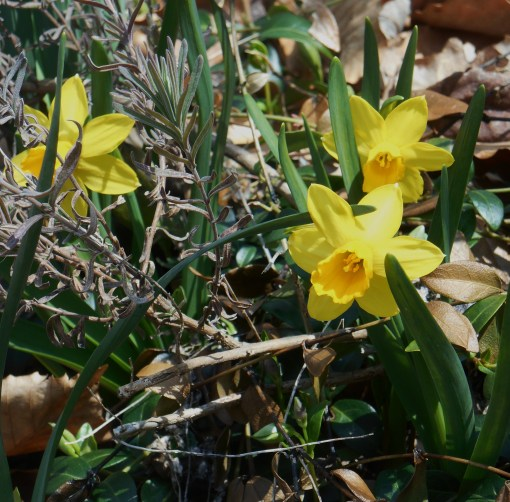 Miniatrure daffodils have emerged around a Rosemary, badly damaged this winter by cold.  We hope the Rosemary shrubs in our garden have survived the winter.