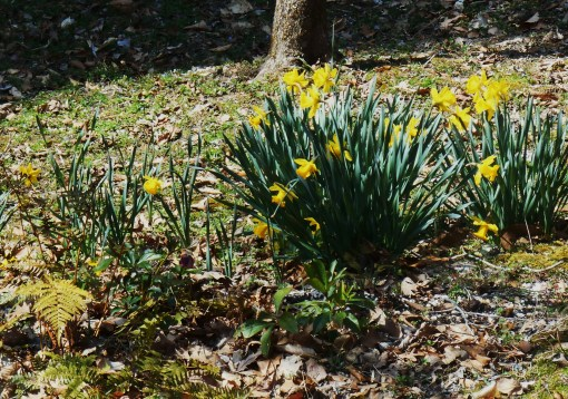 A wider view of the daffies in the fern garden.