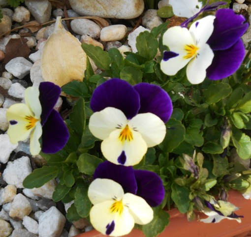 Violas.  See the garlic I've placed in each pot of Violas to discourage the deer?