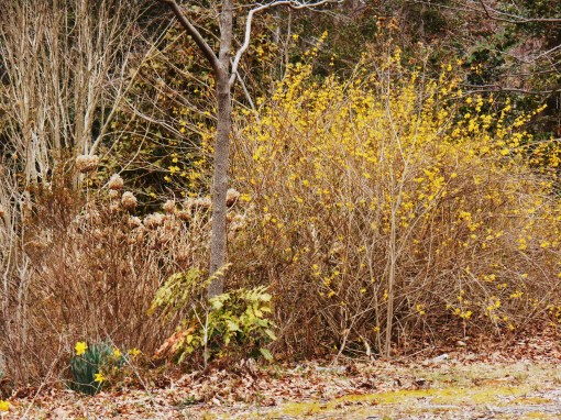This large clump of Forsythia is decades old.  It has spread to cover a huge area.  Of the weeping variety, it lights up the garden in early spring.  It provides shelter for small animals year round.