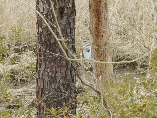 Another Great Blue Heron, a little farther down the Parkway, near the College Creek bridge.