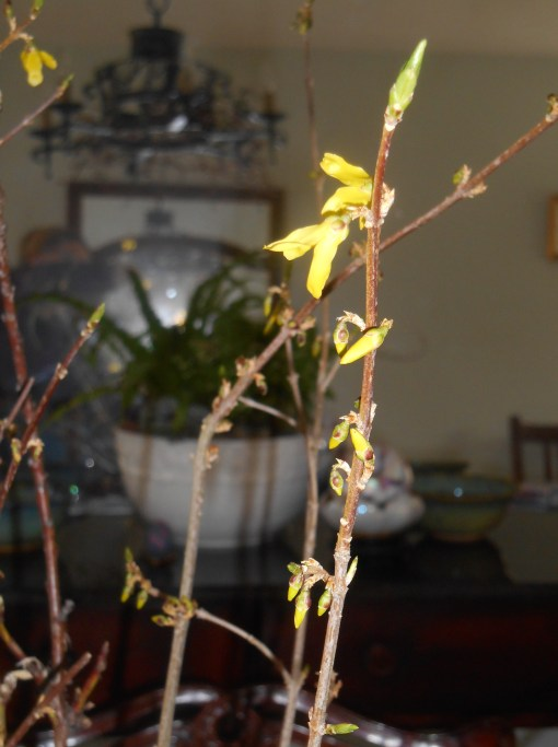Forsythia buds opening after only a few hours inside the warm house.
