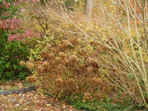 Forsythia leaves turn yellow gold in November.
