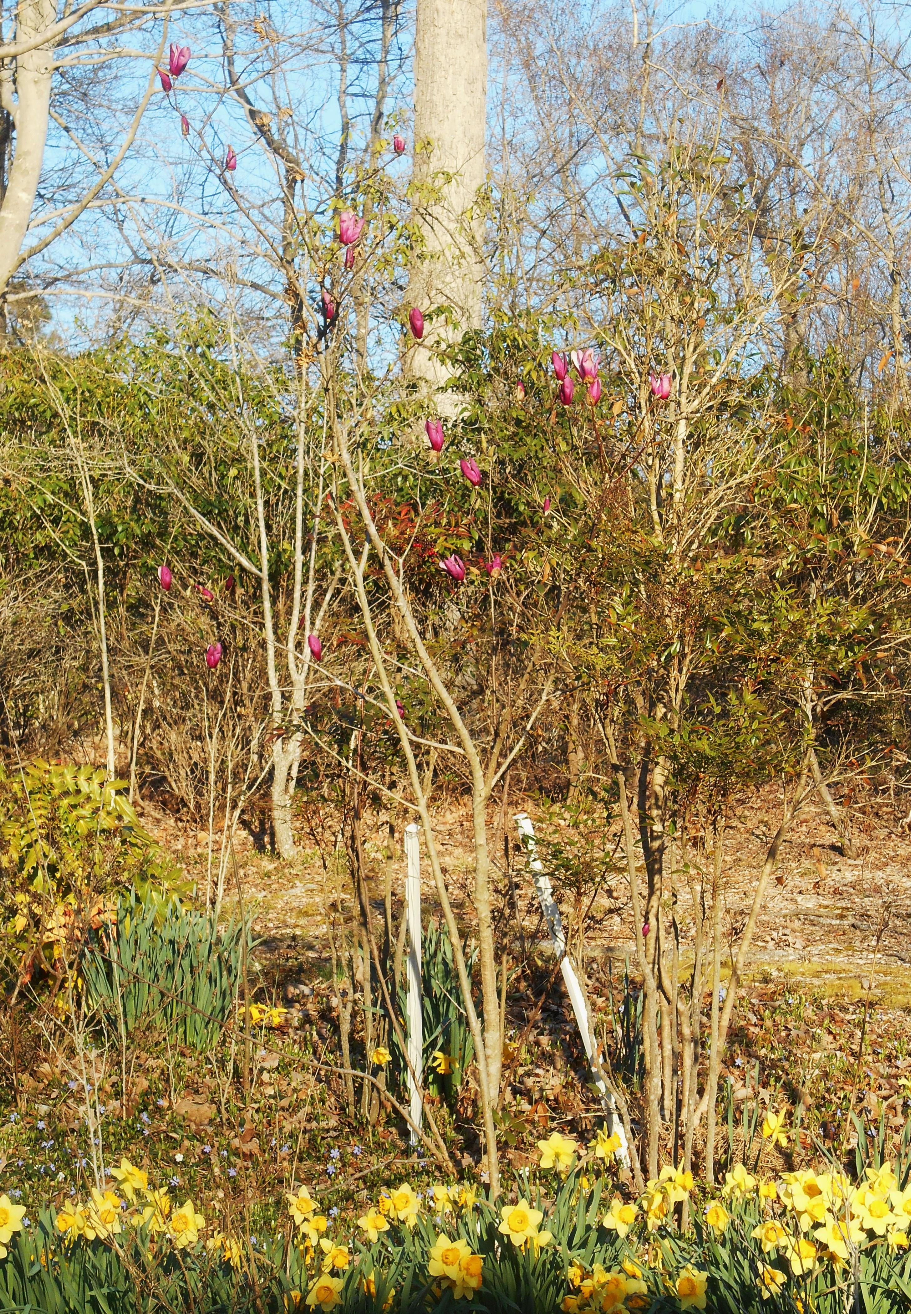 Japanese Magnolia | Forest Garden