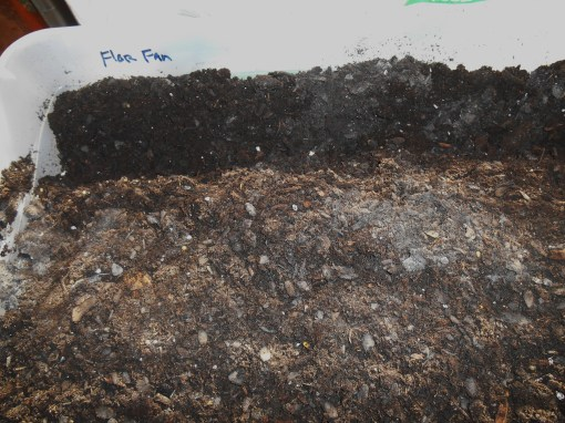 "Fill the box with fresh, good quality potting mix. Here I've dug the first furrow and labeled the box for the ""Florida Fantasy"" tubers which will grow here."