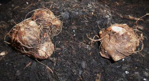 Both of these tubers are eye side up, properly positioned to plant. Notice growth on the right. On the left, I look for the rounded bumps from which stems will grow.
