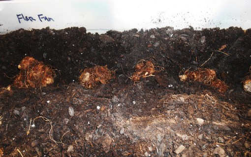 Florida Fantasy tubers laid in the furrow. I cover them as I dig the second furrow to keep things evenly spaced.