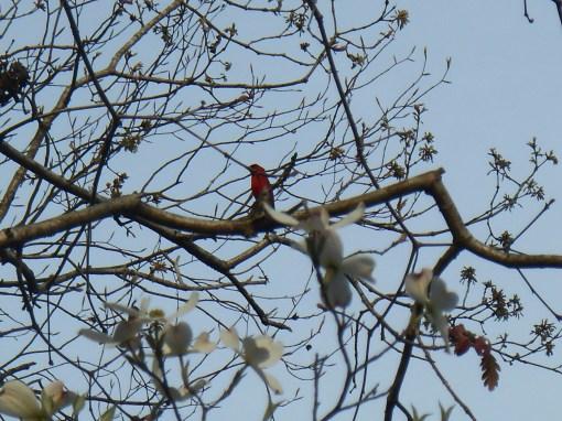 A male cardinal surveys his garden.