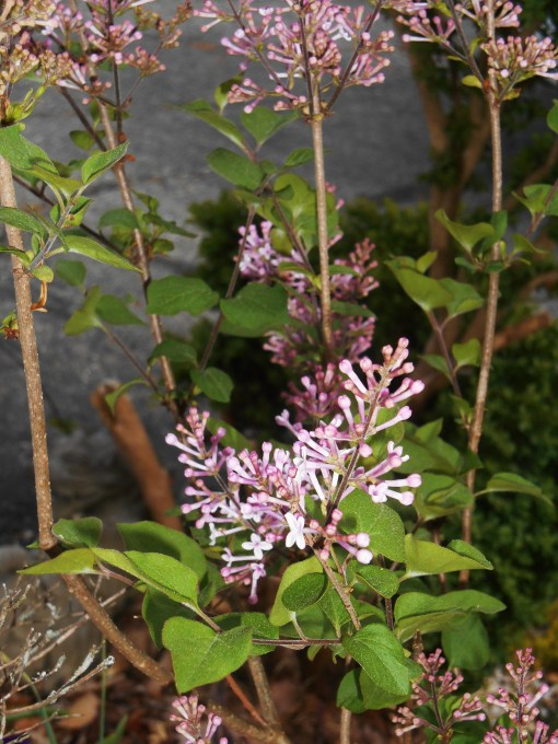 Our Josee lilacs rebloom several times during the summer.  This potted one will move out to the garden after it blooms.  Several others just like it anchor the beds on our hillside.