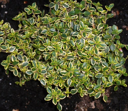 VAriegated Lemon Thyme will hold part of the bank with its dense foliage and roots.