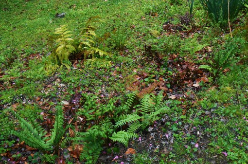 "Our ""fern garden"" is on a very shady slope.  Little else grows here successfully, partly because deer who slip into the yard are drawn here to graze."