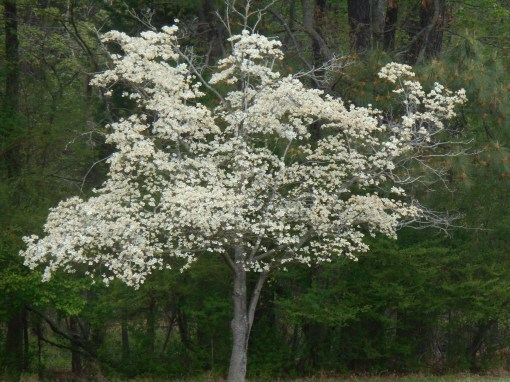 April 19, 2014 wisteria 067