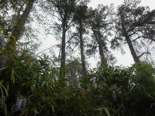 April 19, 2014 wisteria 075
