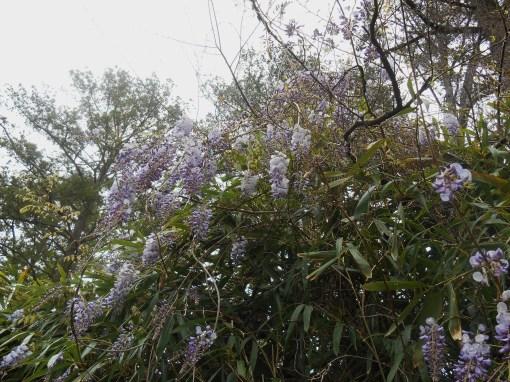April 19, 2014 wisteria 082