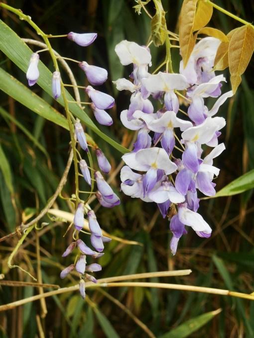April 19, 2014 wisteria 085