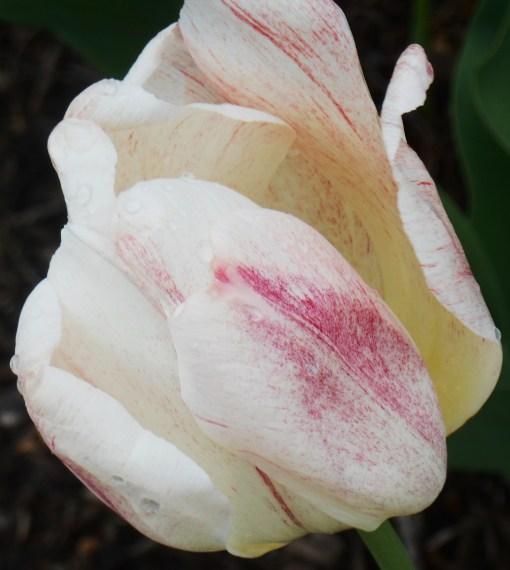 April 19, 2014 wisteria 097