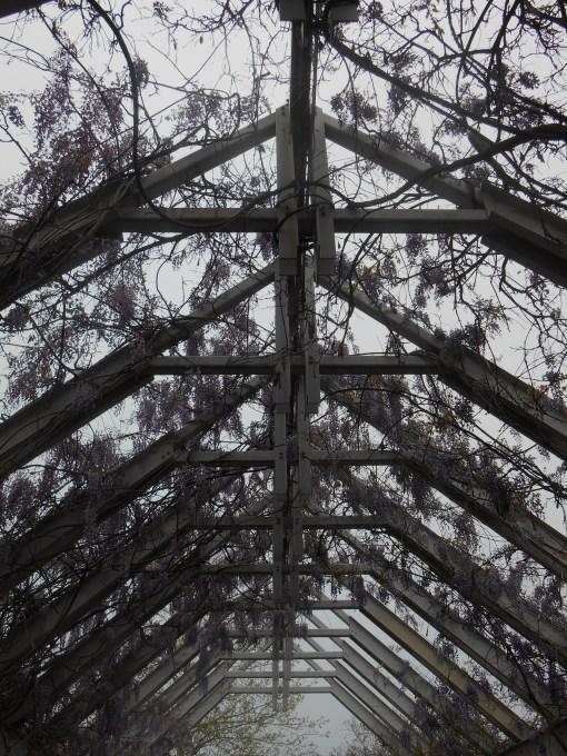 April 19, 2014 wisteria 108