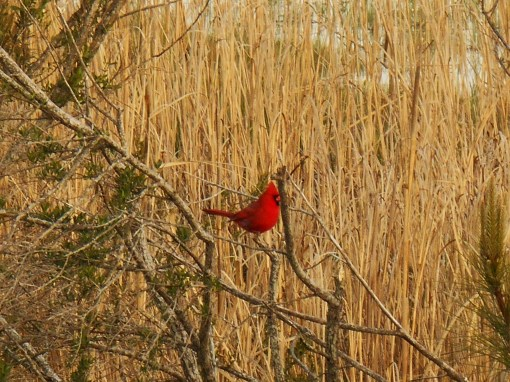 A male cardinal in a marsh along the Parkway.