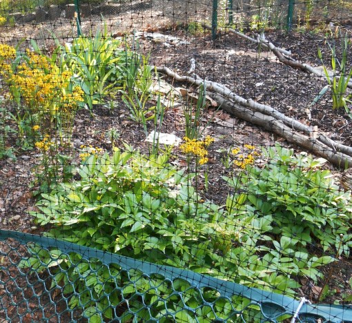 This Hugelkultur bed is full of healthy strawberry plants, and has peas planted on a little trellis.  This area is a steep drop off, but my friends leveled it with downfall wood to construct this bed.