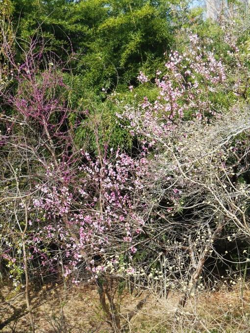 April 5, 2014 flowering trees 002