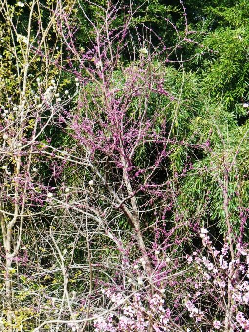 April 5, 2014 flowering trees 003