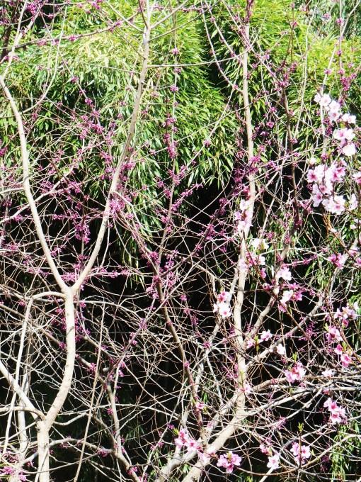 April 5, 2014 flowering trees 015