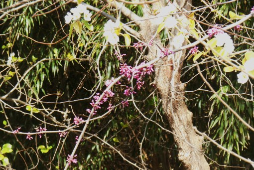 April 5, 2014 flowering trees 016