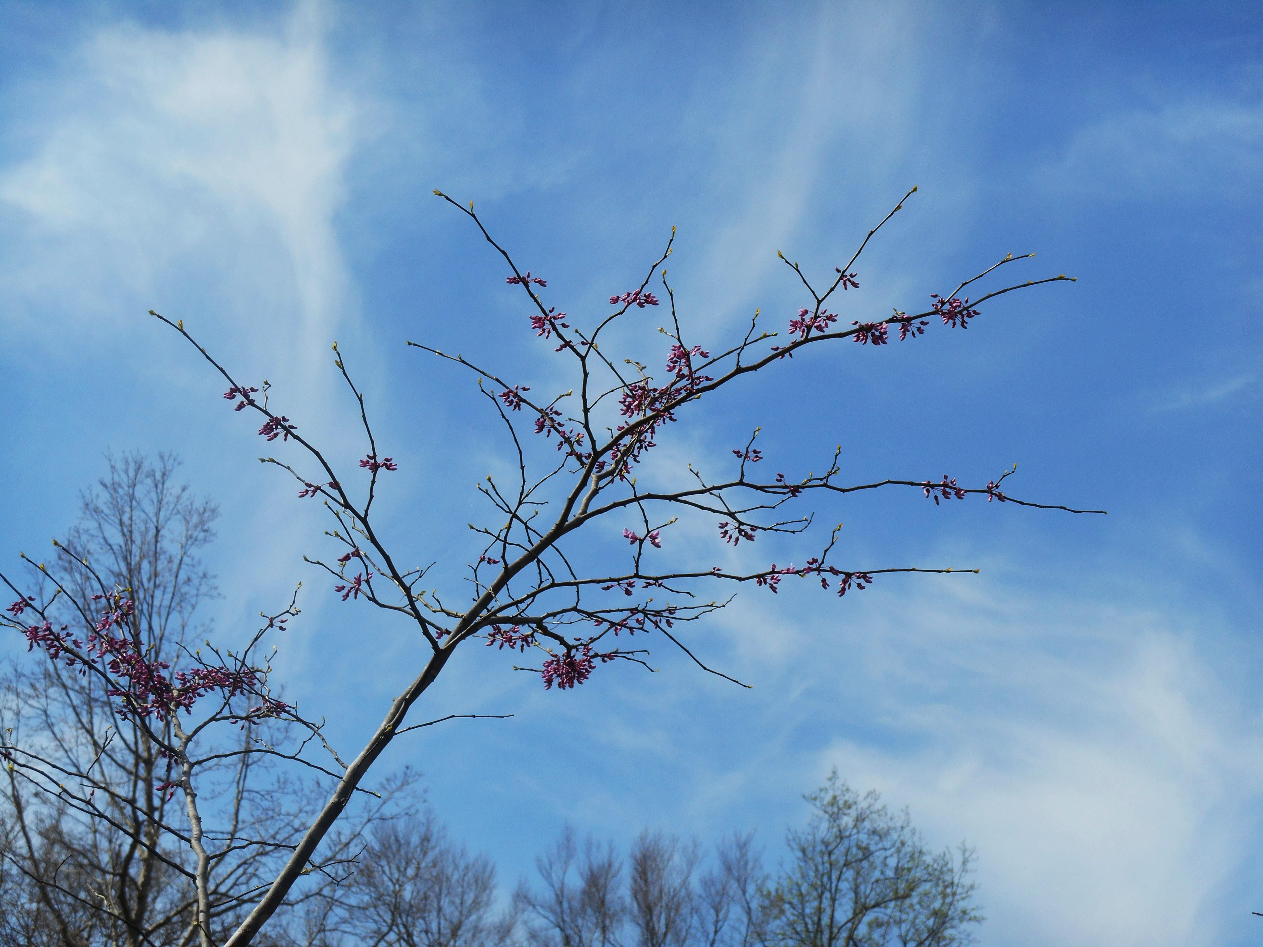 Eastern redbud tree forest garden april 5 2014 flowering trees 033 izmirmasajfo