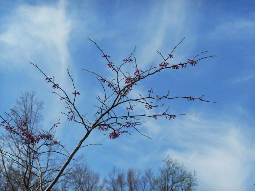 April 5, 2014 flowering trees 033