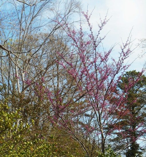 April 5, 2014 flowering trees 034