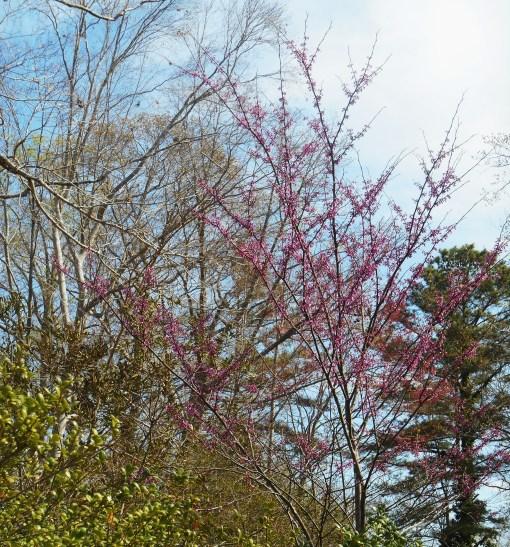 April 5, 2014 flowering trees 034
