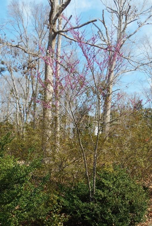 April 5, 2014 flowering trees 036