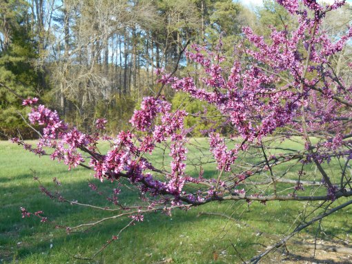 The Eastern Red Bud tree is a bright addition to the early spring garden.  These long-lived trees bloom with the early daffodils.
