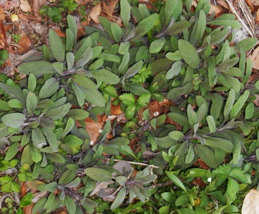 Another culinary sage, or Salvial officinalis.  This purple cultivar is especially hardy and easy to grow.