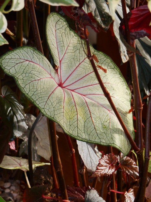 The same Caladium in January, now enjoying life in the living room.