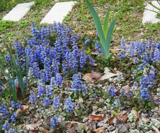 Perennial Ajuga serves as a ground cover around Iris, Heuchera, and at the base of a tea rose.