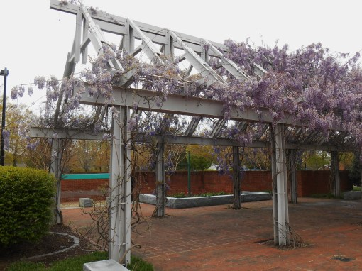 Growth may be controlled on Wisteria vines, and flowering increased, through pollarding the fine.