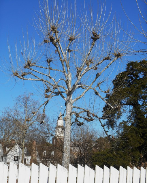 "Our trees last December 27.  Do you see the new growth at the ""knobs""?  This was pruned away over the winter."